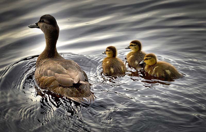 El apego y los patos